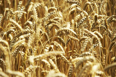 Yellow grain ready for harvest growing in a farm field. Summer, agriculture Stock Photo