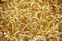 Yellow grain ready for harvest growing in a farm field. Summer, agriculture Stock Photos