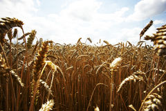Yellow grain ready for harvest growing in a farm field. Summer, agriculture Royalty Free Stock Photography