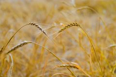 Yellow grain ready for harvest growing in a farm field royalty free stock photos