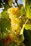 Yellow grape. On vine in the sunshine Stock Photo