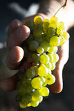 Yellow grape. Worker hand holding yellow grape royalty free stock images