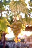 Yellow grape. Green grape in vineyard stock image