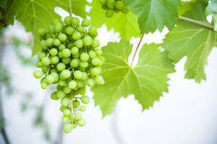 Yellow grape background Royalty Free Stock Images
