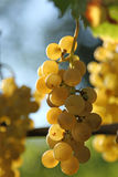 Yellow grape brunch. Macro foto of white wine grapes, low depth of focus Royalty Free Stock Images