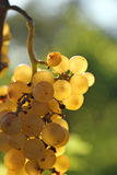 Yellow grape brunch. Macro foto of white wine grapes, low depth of focus Stock Images