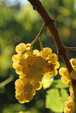 Yellow grape brunch. Macro foto of white wine grapes, low depth of focus Royalty Free Stock Image