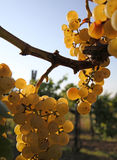 Yellow grape brunch. Macro foto of white wine grapes, low depth of focus Royalty Free Stock Photography