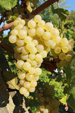 Yellow grape bunch. Closeup on grape bunch growing in grapevine Stock Image