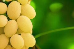 Yellow grape cluster Royalty Free Stock Photography