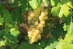 Yellow grape cluster in leaves frame. Closeup on grape bunch growing in grapevine Stock Photo