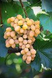 Yellow grape cluster with leaves on vine Stock Images