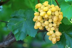Yellow grape cluster with leaves on vine Royalty Free Stock Image