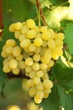 Yellow grape cluster with leaves on vine Royalty Free Stock Photos