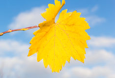 Yellow grape leaf closeup on a background of blue sky Stock Photos