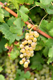 Yellow grape Stock Images