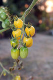 Yellow grape tomatoes on plants in the evening, ready to harvest. Royalty Free Stock Photo