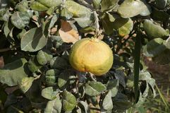 Yellow grapefruits grows in field. Yellow grapefruits grows in the field Stock Images