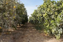 Yellow grapefruits grows in field. Yellow grapefruits grows in the field Stock Image