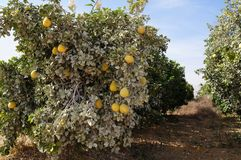 Yellow grapefruits grows in field. Yellow grapefruits grows in the field Royalty Free Stock Image