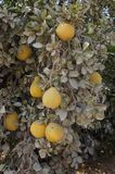 Yellow grapefruits grows in field. Yellow grapefruits grows in the field Royalty Free Stock Photo