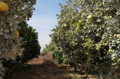 Yellow grapefruits grows in field. Yellow grapefruits grows in the field Stock Photos