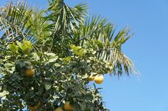 Yellow grapefruits and palm tree Stock Photo