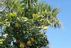 Yellow grapefruits and palm tree Royalty Free Stock Image