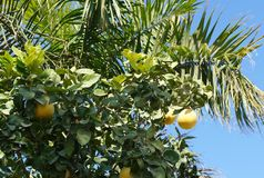 Yellow grapefruits and palm tree Stock Images