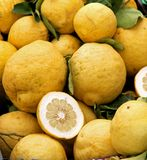 Yellow grapefruits of Sicily just collected from the lush tree o Royalty Free Stock Photo
