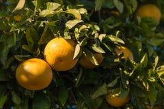 Yellow grapefruits on tree Stock Photos