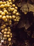 Yellow grapes Stock Photo