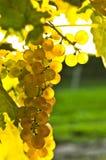 Yellow grapes stock image