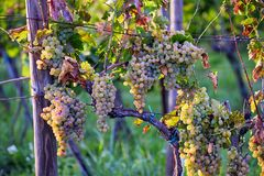 Yellow grapes on grapevine in autumn royalty free stock photo