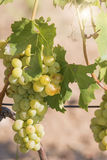 Yellow Grapes Royalty Free Stock Images