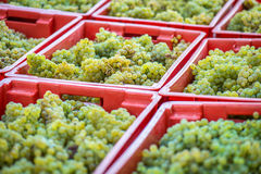 Yellow grapes harvesting Royalty Free Stock Images