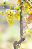 Yellow grapes in the vineyard Royalty Free Stock Photo