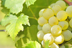 Yellow grapes in the vineyard Stock Photo