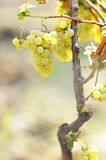 Yellow grapes in the vineyard Stock Photos