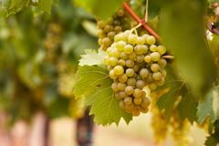 Yellow grapes in the vineyard stock photography