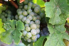Yellow grapes in a vineyard in Luxembourg royalty free stock image