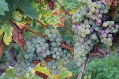 Yellow grapes in a vineyard in Luxembourg stock photo