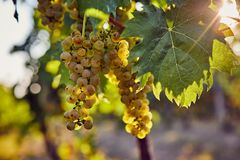 The yellow grapes on a vineyard with sunlight. In the background stock images