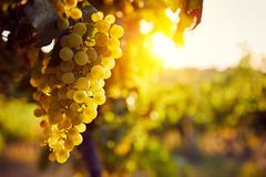 The yellow grapes on a vineyard with sunlight. At sunset stock images