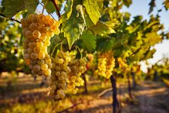 Yellow grapes on the vineyard royalty free stock photo