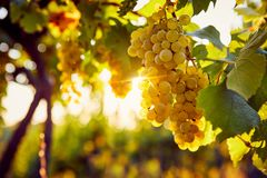 Yellow grapes in a vineyard at sunrise. With sunshine in the background royalty free stock images