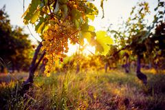 Yellow grapes in a vineyard at sunset. With sunshine in the background stock photo