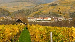 Yellow grapeyard in the Wachau valley in Austria royalty free stock images
