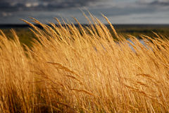 Yellow grass. At sunset background Royalty Free Stock Photo
