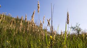 Yellow grass against a blue sky royalty free stock photos
